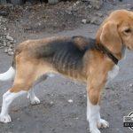 beagle z łańcucha