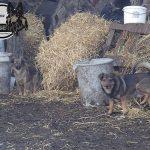 dzikie psy
