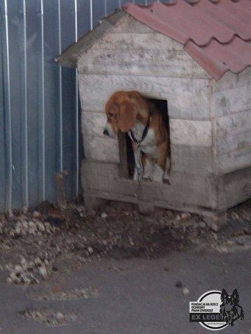 phoca thumb l beagle z lancucha 2 600